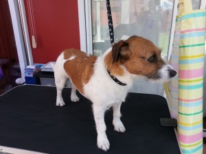 Fudge The Jack Russell Cross